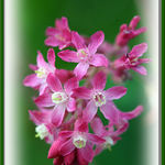 Ribes - Flowering Currant