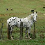 Ride a Dapple Pony