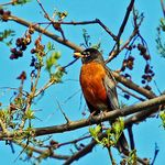 Robin in my Tree
