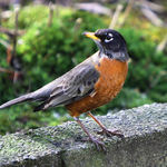 Robin - Welcome Visitor