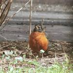 Robins are back