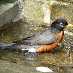 Robin with water droplets/splashes