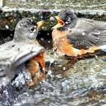 Robins - beak open,