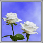 A pair of Roses