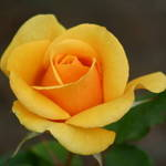 Irrestiable Rose
