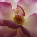 Handel Climber Rose