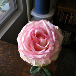 Rose on Oak Table