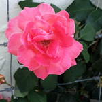 Jan's Rose