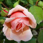 Rose macro - pink rose