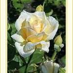 Rustica Rose