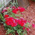 Roses Grow beside an Old Stove Door