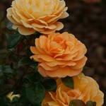 Rose Tripplets