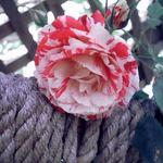 Rose on rope