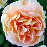 Rose beside Floral Clock