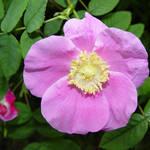 Rose - Wild Rose