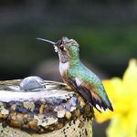 Rufous Hummingbird Female beside Daffodil