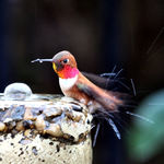 Rufous Hummingbird Male bathing