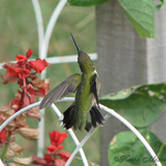 Ruby Throated Hummingbird 01
