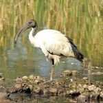 Sacred Ibis