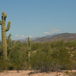 Saguaro And Mountains