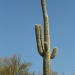 Saguaro Cactus In Wickenburg