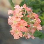 Salmon Phlox