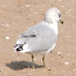 Sea Gull
