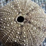 Sea Urchin