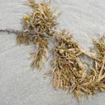 seaweed 4
