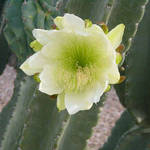 Senita Cactus Blossom 1
