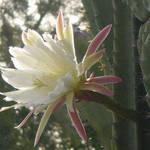 Senita Cactus Blossom 2