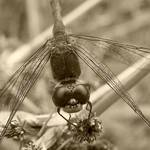 Sepia Dragonfly