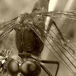 sepia fly