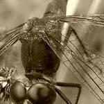 sepia fly