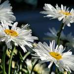 Dreams of Daisies, Shasta daisies