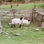 Ram and Lamb