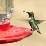 Shiny Ruby throated Hummingbird