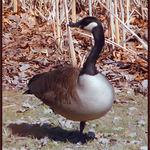 Showoff Goose