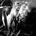 Milkweed flyers