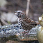 Sing a Spring Song - Song Sparrow