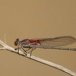 Damselfly In Arizona