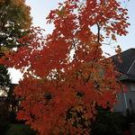 Small Tree in Autumn Glory
