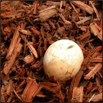 Snapping Turtle Egg