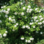 Snow Ball Bush