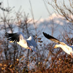 Snow Geese, mountain backdrop