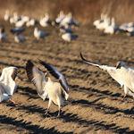 Snow Geese touchdown
