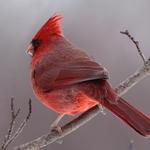 Snow Glow Cardinal