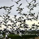 Snow Geese Flock Liftoff
