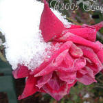 The Snow is  on the Roses