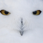 Snowy Owl - up close